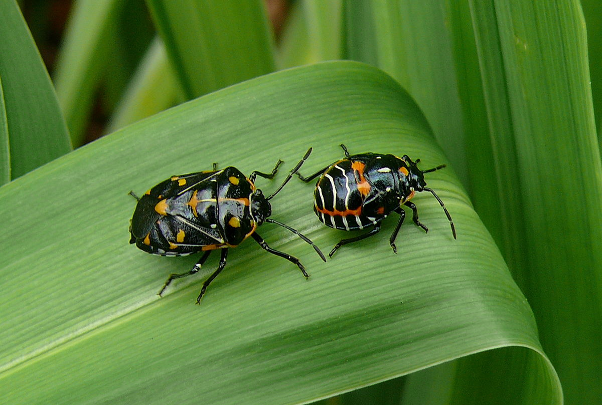 1200px-Harlequin_Bug_adult_and_nymph